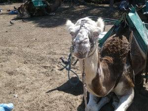 excursion a camello Maspalomas