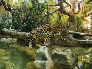 jaguar loro park