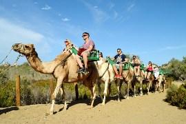 Camellos Dunas de Maspalomas