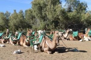excursión camellos Maspalomas