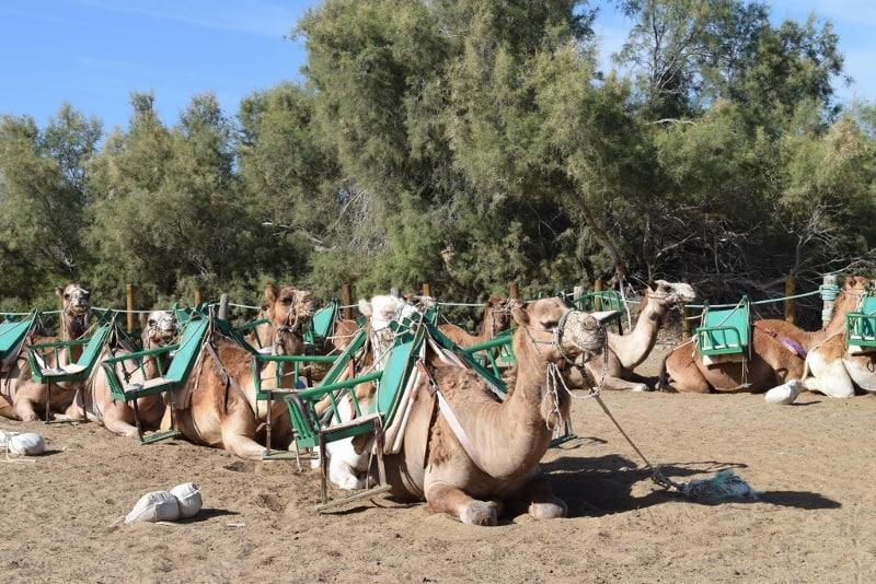 Kamel Ausflug Gran Canaria